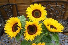 Sunflower Earlistart F1