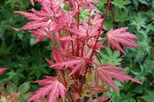 Acer palmatum 'JWW7' (Brown Sugar)