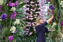 World's largest orchid flowers at Kew for the first time