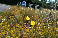 Roundabout meadows in bloom at end of two-year project