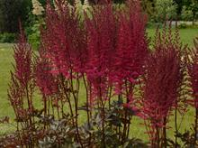 Astilbe wins best Plantarium novelty plant award