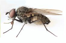 Alert: bean seed flies on vegetable crops