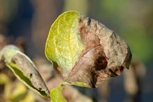 Forecast service revised to highlight early potato blight risk