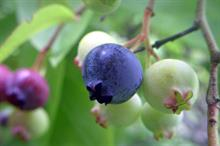 Virus vector confirmed in Scottish blueberries