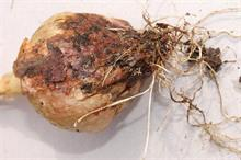 Pest & disease factsheet - Botrytis