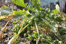Brassica alert: ringspot and white blister