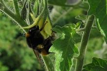 Survey to understand poor tomato pollination by native bumblebees