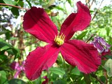 New clematis and two exclusive new climbers are available from Thorncroft Clematis