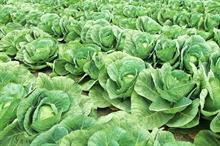 Brassica alert: pest pressure reduces