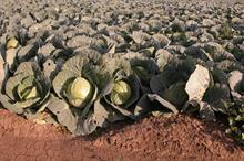 Alert: cutworms on brassica crops
