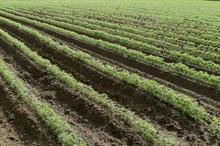 Alert: leaf miner on carrot crops
