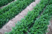 Loss of linuron herbicide leaves carrot and parsnip growers with no direct alternative