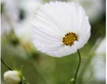 Cosmos 'Cupcakes White' is RHS garden visitors' favourite