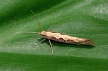 Temporary approval granted for control of brassica-feeding moths