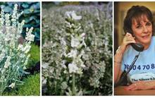 Hillier to launch Rantzen lavender