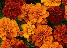 PanAmerican Seed promotes marigolds at IPM Essen