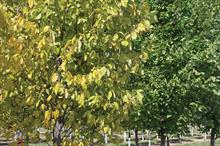 Agency highlights threat of elm yellows virus