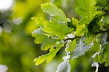 Report launched at Chelsea identifies collaborative solutions to driving oak import substitution