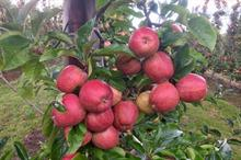 How will reduced apple and pear harvests hit the industry?