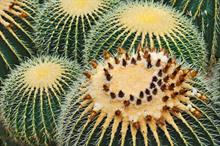 One in three cacti species could go extinct, with plant hunters partly to blame