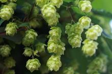 Experimental beer made in Scotland from Hutton hops