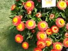 Westflowers launches strawflower innovation