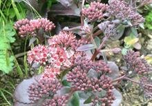Mr Fothergill's home gardening scheme finds Sedum Xenox is the best bloomer