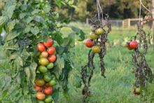 Suttons defends claims about blight-resistant tomato