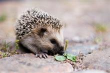 Hedgehog campaign steps up