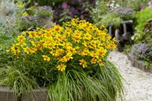 Moerheim New Plant Coreopsis wins gold