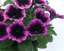 Petunia 'Ovation Dark Heart' tops Ball Colegrave visitor vote