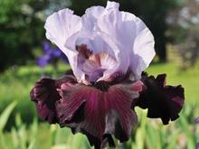 Claire Austin introduces four new irises
