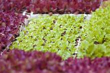 Grower makes online plea for return of stolen baby lettuces