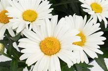 Leucanthemum maimum 'Christine' (Sweet Daisy)