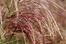 Miscanthus sinensis 'Red Cloud'