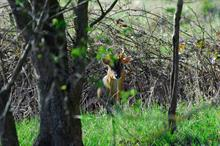 """""""Drastic action"""" required to reverse deer damage on woodland understoreys"""