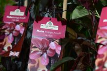 Malus sieboldii Aros takes best in show at HTA National Plant Show