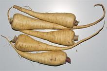 Alert: parsnip canker