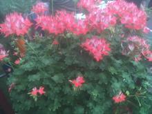 RHS Chelsea Flower Show Fireworks Red White Pelargonium commemorates the late John Mitchell