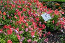 GM petunia geneticist says modified ornamentals are likely to become more widespread