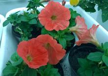 Animal and Plant Health Agency confirms genetically modified petunias present in UK
