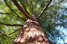 Westonbirt to fell giant redwood after scan reveals decay