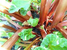 Alert: Black aphids on rhubarb