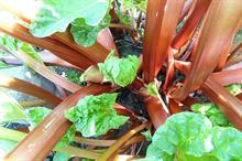 Alert: Ramularia leaf spot and downy mildew on rhubarb