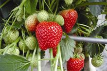 Authorisation granted for downy mildew control on strawberries
