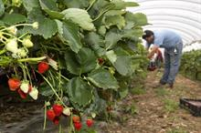Can a labour crisis be averted in the UK berry industry?