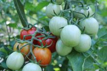 Work to develop tomato pest control hailed as 'huge financial success'