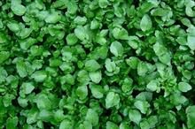 Watercress grower to work with angling body on river discharge best practice