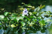 Water hyacinth to be banned from August
