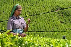 Typhoo prepares to offer Fairtrade teas